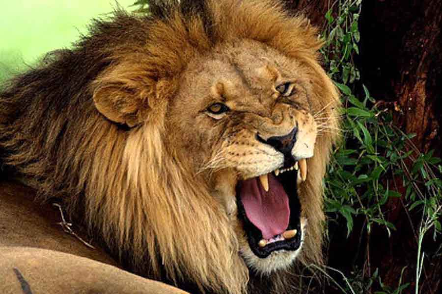 Image Of A Roaring Lion Dowload: That Roaring Lion