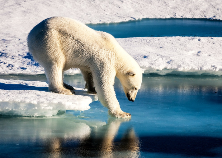 Polar bear at the Arctic.