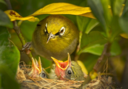 Cape White-Eye With Chicks by Richard Masson